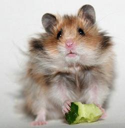 hamster109
