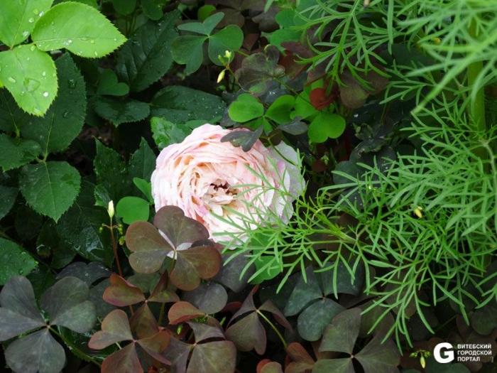 Роза марк шагал