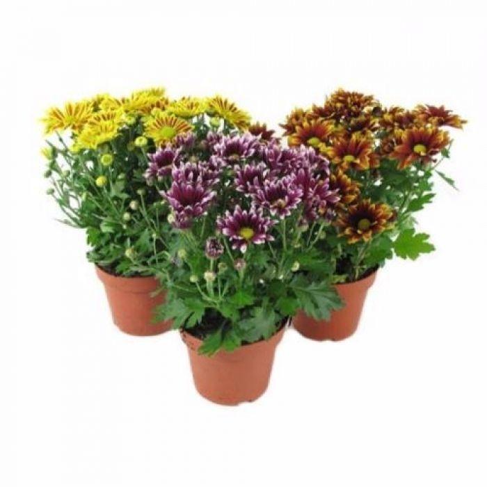 Цветы в горшках хризантемы