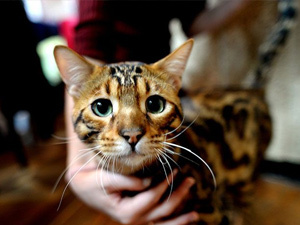 Самую красивую кошку выберут в Витебске в рамках Международной выставки