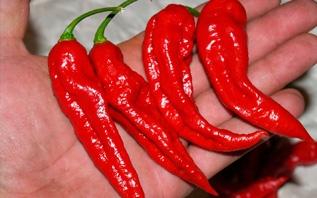 Как правильно выращивать жгучие перцы, чтобы было много и остро!