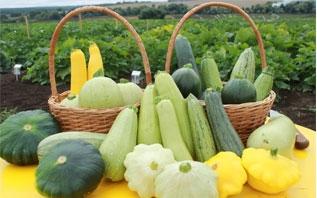 Как вырастить богатый урожай вкусных кабачков в открытом грунте