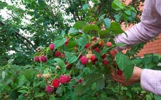 Малинник после сбора урожая: как ухаживать и чем подкармливать?